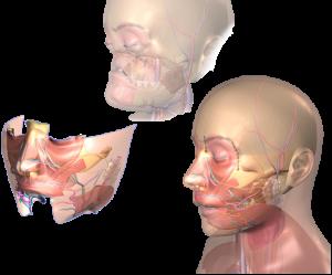 Face Jaw Teeth Transplantation
