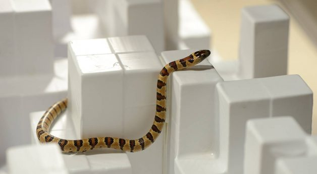 By studying snakes, engineers learn how to build better robots
